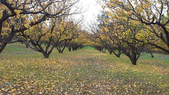 Wirrabara, Australia: Apricot orchard in Autumn