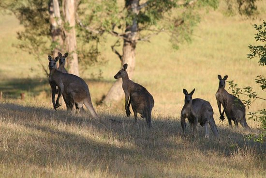 Hunter Valley Tours for Two : Spot the local Kangaroos