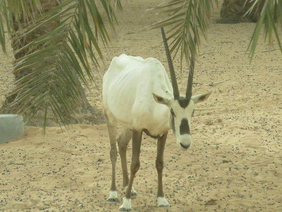 Dubai Safaris Tour: Desert dweller