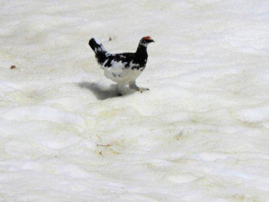 Mikurigaike Pond: みくりが池端の雪原を歩く雷鳥(望遠)
