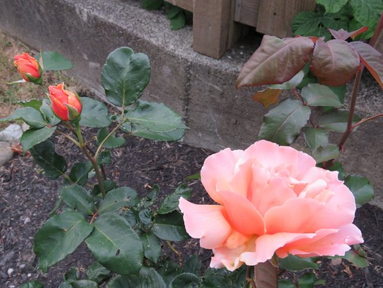 Passage View Motel: Beautiful Brandy roses fill the air with their heavenly scent.