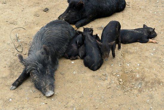 Stu's Wild Pig Farm: So many babies