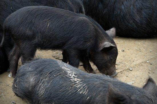 Stu's Wild Pig Farm: piglets