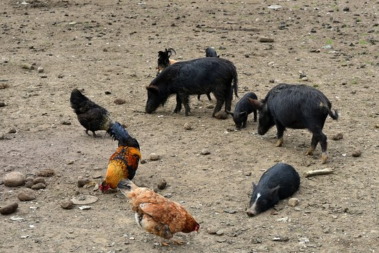 Stu's Wild Pig Farm: pigs and chickens