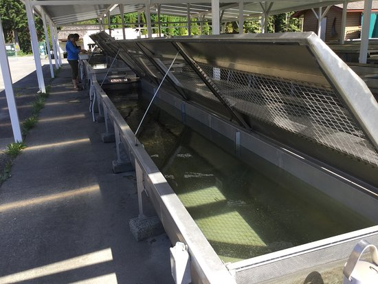 Agassiz, Canada: Staff working with coho fry ar the rearing troughs.