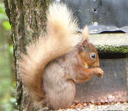 Lockerbie, UK: At one of the feeders.