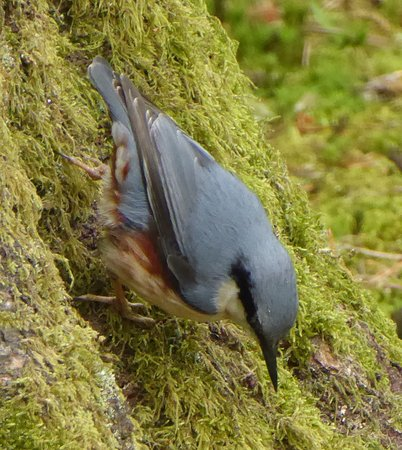Eskrigg Nature Reserve: Nuthatch
