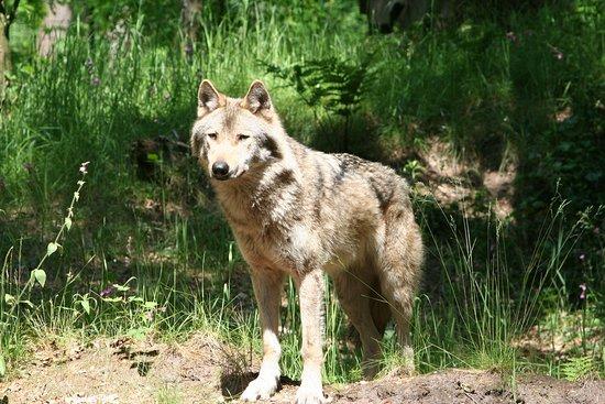 Amersfoort Zoo : mooi dier die wolf
