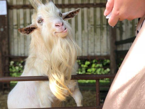 Snettisham Park: feeding the goats