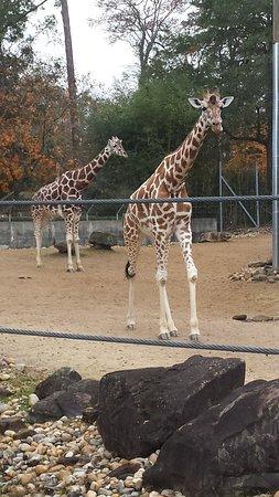 Birmingham Zoo: giraffe