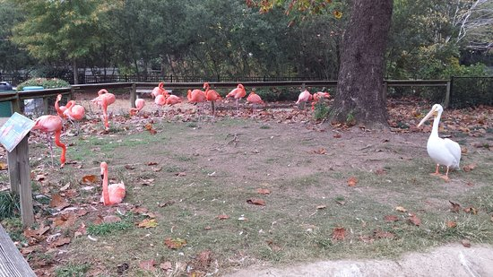 Birmingham Zoo: some of the flamingos