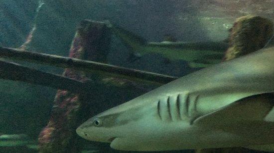 Sea Life Brighton : Shark