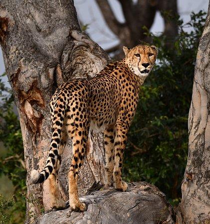 Inyati Game Lodge, Sabi Sand Reserve: Cheetah #3