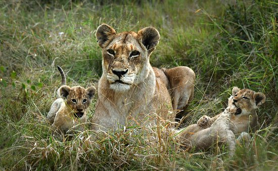 Inyati Game Lodge, Sabi Sand Reserve: Cubs just out of their den