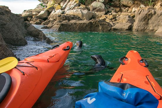 Kaiteriteri, Yeni Zelanda: seals playing around the kayaks