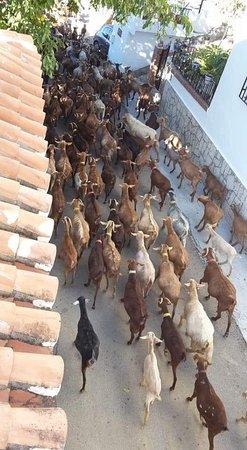 Periana, España: geiten door de straat in Banos de Vilo