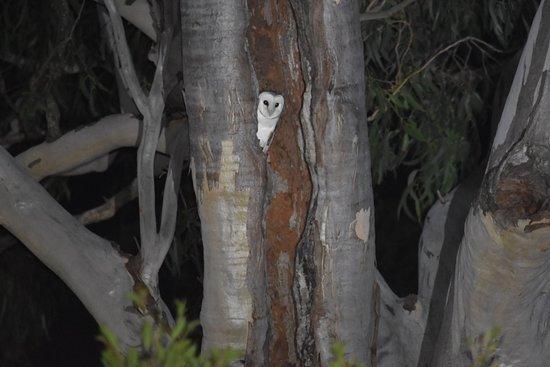 Mapleton Springs: Barn owls visiting