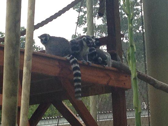 Greensboro, NC: Ring-Tailed Lemurs - endangered (conservation status)