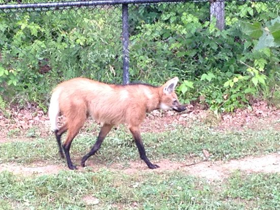 Greensboro, NC: Maned Wolf - nearly threatened (conservation status)
