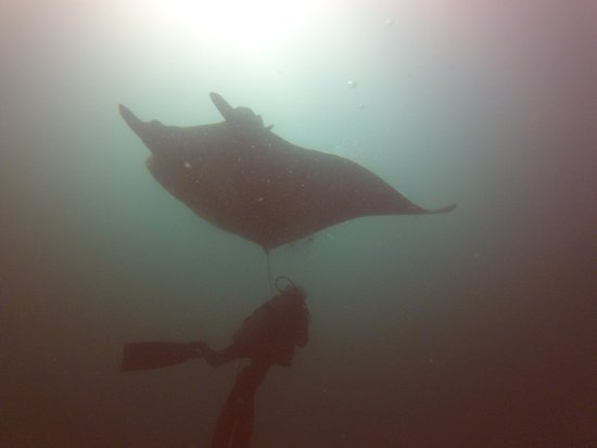 Sirenas Diving Costa Rica: Black Pacific Manta