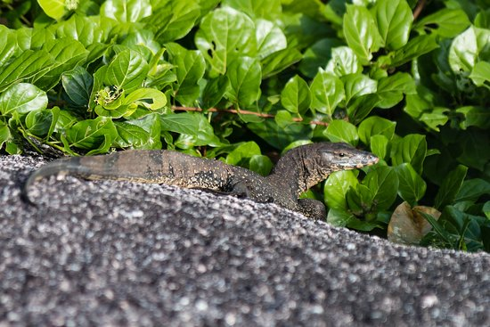 Similan Diving Safaris: Monitor Lizard Similan islands