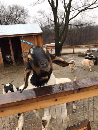 Kansas City Zoo: goat