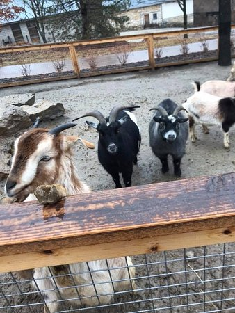 Kansas City Zoo: goats