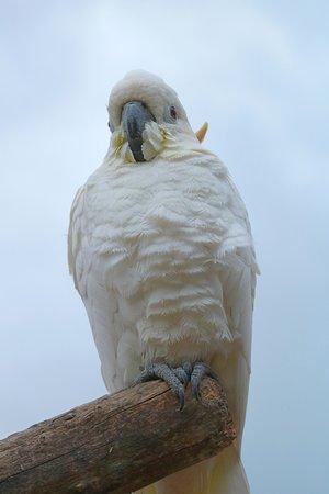 Tropical Birdland : Cockatoo