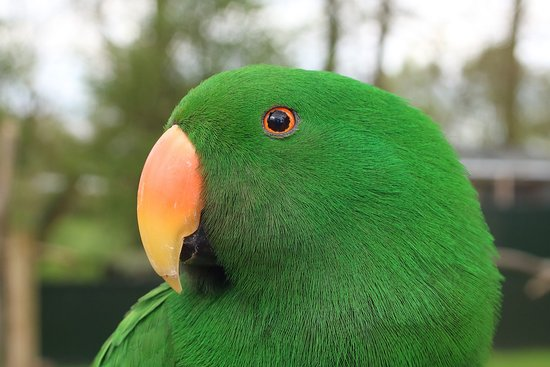 Tropical Birdland : ECLECTUS PARROT