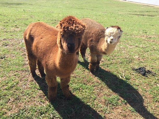 "Holland Ridge Farms: Our two Alpacas at ""Animal Crackers"" Barn."