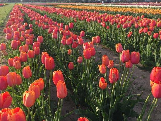 Holland Ridge Farms: Our tulip fields.