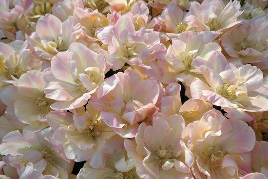 Holland Ridge Farms: Our tulips.
