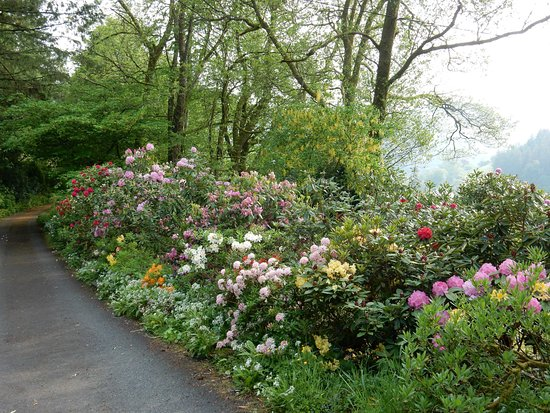 Llanwrtyd Wells, UK: Azaleas and rhododendrons on the drive