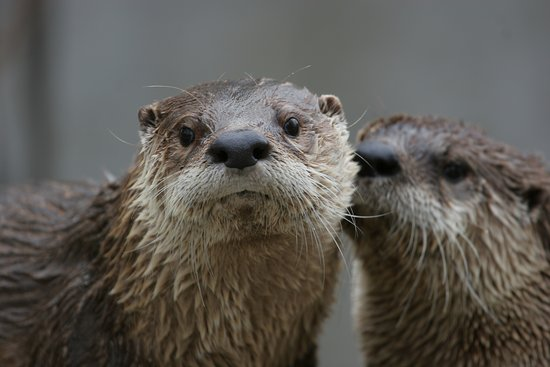 Roger Williams Park Zoo: Don't miss our playful North American river otters located behind the World of Adaptations build