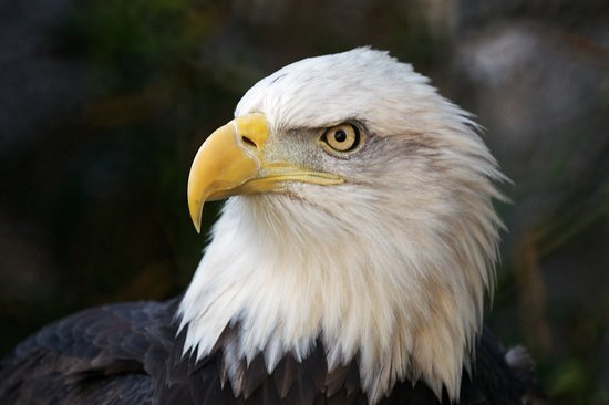 Roger Williams Park Zoo: A conservation success story - catch a glimpse of the Zoo's three bald eagles.