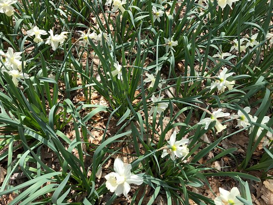 Richfield, OH: White daffodils at the Daffodil Trail