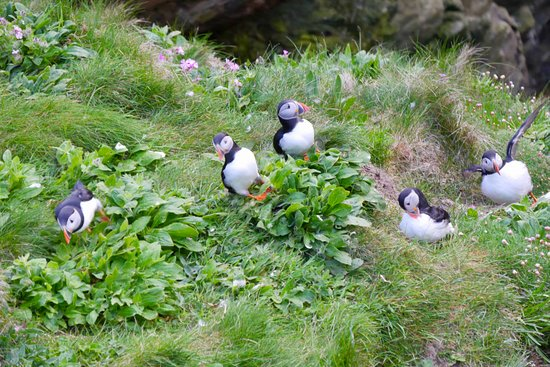 Westraak Tours: Lots of puffins...
