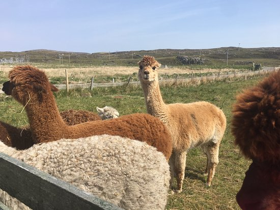 Callanish Alpacas: Queen of the pack