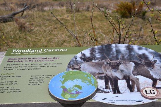 Assiniboine Park Zoo : caribou