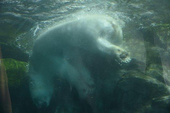 Assiniboine Park Zoo: polar bear