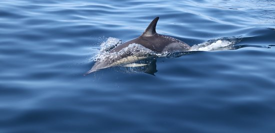 Whale Watch West Cork : Common dolphin