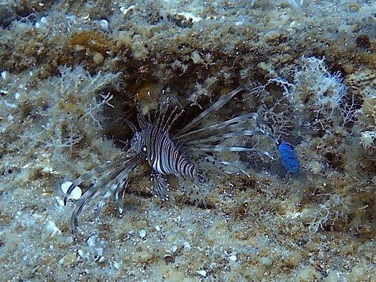 Cyprus Diving Adventures : Lion Fish