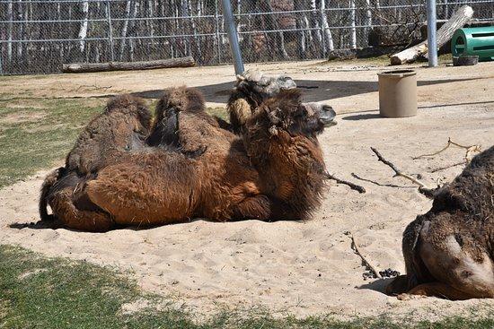 Assiniboine Park Zoo: camels