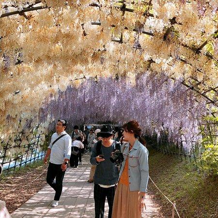 Kitakyushu City Kawachi Fuji Garden Wisterias Blossom Photo