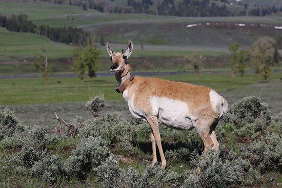 Yellowstone Wolf Tracker: pose