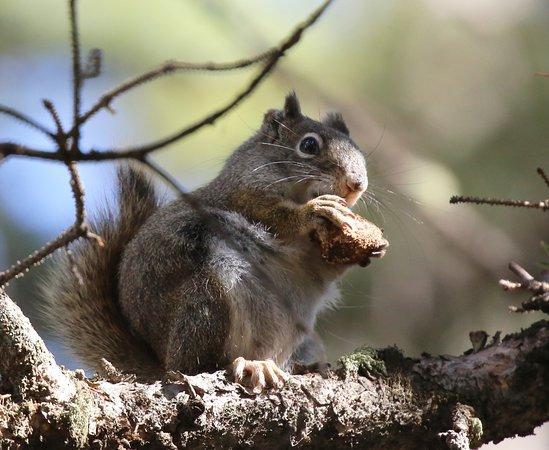 Yellowstone Wolf Tracker: nuts