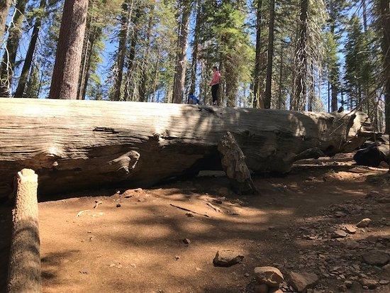 Tuolumne Grove of Giant Sequoias照片