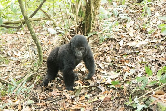 Kampala, Oeganda: Baby mountain gorilla - Just imagine coming face to face with this little guy!