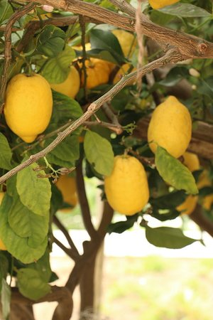 Cooking Vacations Italy : Lemon groves...