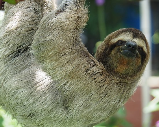 San Isidro, Kostaryka: Three toed sloth